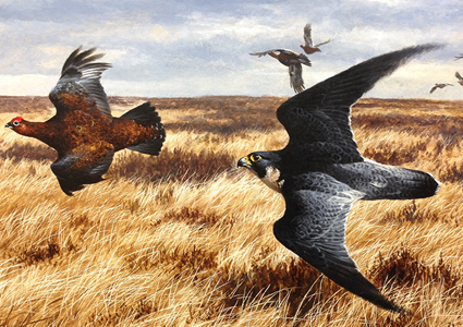 Peregrine and grouse, acrylic