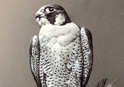 Mixed media black and white, Peregrine at rest